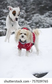 Boxer and poodle mix playing in the winter snow while hiking Mount Mansfield, Vermont