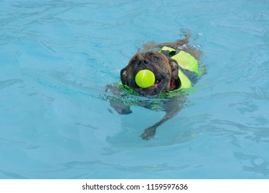 Boxer puppy dog with life jacket flotation device and tennis ball in the mouth swimming in swimming pool