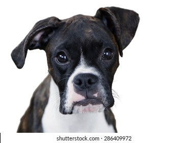 boxer puppy face close up