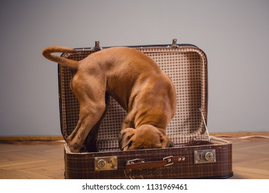 Boxer puppy looking for sth in vintage suitcase.