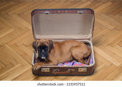 Boxer puppy lying down in vintage suitcase.