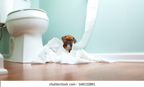 Boxer puppy playing in bathroom