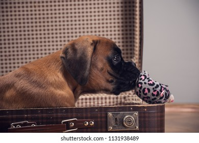 Boxer puppy playing with toy  in vintage suitcase.