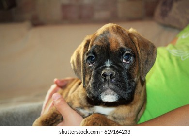 Boxer puppy portrait.