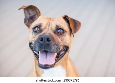 Boxer puppy shows off smile