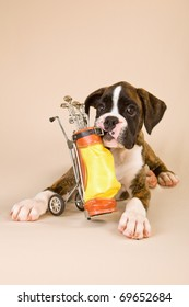 Boxer puppy with toy golf bag