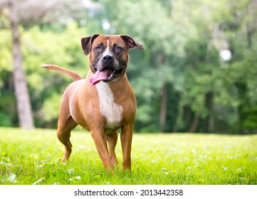 A Boxer x Pit Bull Terrier mixed breed dog with a long tongue standing outdoors and panting