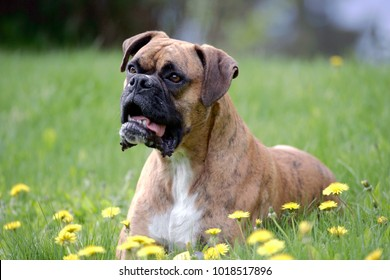 BoxerDog, male, laying in meadow of flowers, alert
