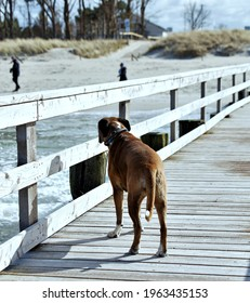 boxerdog Marie enjoying the fresh baltic sea air
