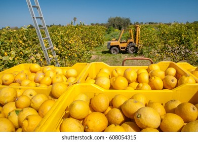 Boxes full of lemons in a citrus grove near Syracuse, Sicily