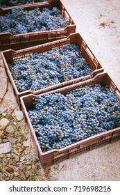 boxes of red grape, freshly harvested in small vineyard in Chile