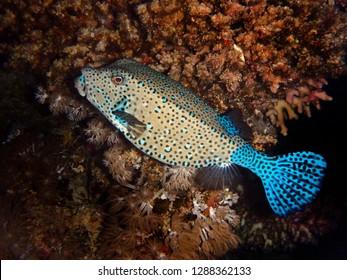 Boxfish, Fury Shoal, Red Sea, Egypt
