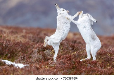 boxing mountain hares seen in Scotland