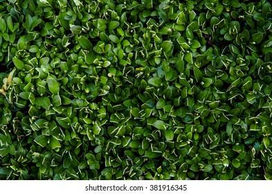 Boxwood bushes, close up