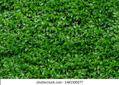 Boxwood seamless background pattern. Natural photo green texture of boxwood Buxus sempervirens