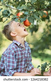 Boy with Apple in the Apple Orchard. Child Eating Organic Apple in the Orchard. Harvest Concept. Garden, Toddler eating fruits at fall harvest. Apple picking.