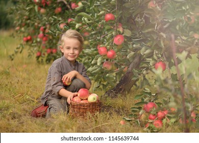 Boy in the apple orchard. Child picking fresh ripe apples in autumn, fruit garden. Harvest time on a farm.