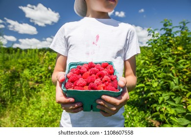 boy with a box of raspberries in his hands in the garden. child picking raspberries on the farm.
