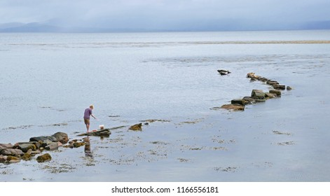 Boy Crabbing While Seals Bask on Rocks