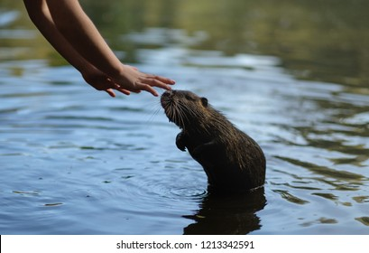 A boy feeds a beaver rat in the water
