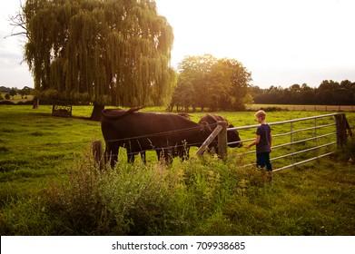 boy feeds cows at sunset, toned, horizontal photo