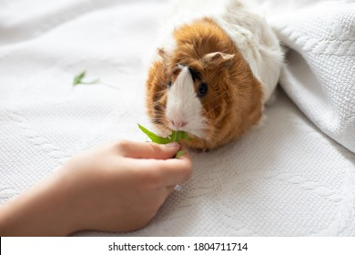 boy feeds guinea pig out of hands. manual animal eats from human hands. child takes care and plays with pet