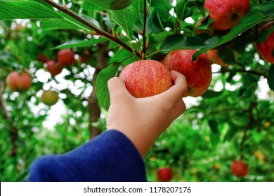 Boy hand picking a red ripe apple from the tree at farm. Close up full frame view.