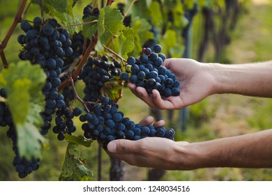 boy hands checking grapes in a vineyard during a sunny day