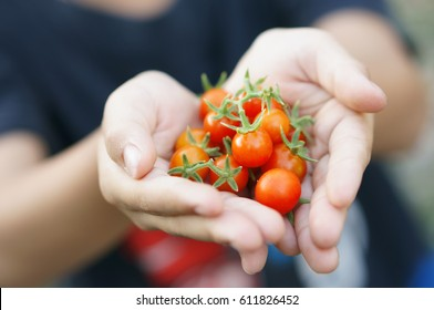 Boy hands with freshly harvested ripe natural mini tomatoes.