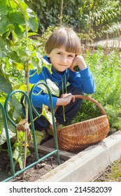 boy harvests in the basket of cucumbers from the garden