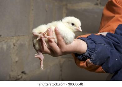 Boy holding Chick