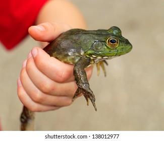 Boy holding a large bullfrog, Lithobates catesbeianus