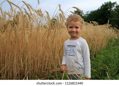 The boy holds wheat grain in his hands. A little white boy on a farm near the field with yellow wheat.