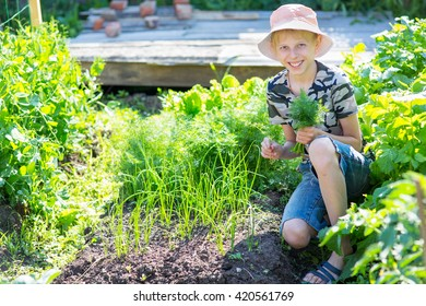 boy plucked fresh dill in the garden