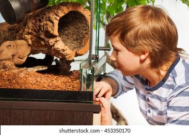 Boy watching Royal python at the terrarium