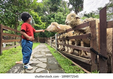 A boy wearing face shield feeding sheep with sliced carrot