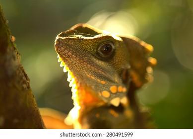 Boyd's Forest Dragon 2