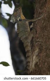 Boyd's forest dragon (Hypsilurus boydii) jn rainforest at Mossman Gorge, Queensland, Australia.