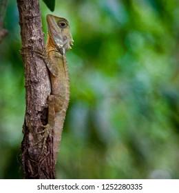 Boyd's forest dragon (Lophosaurus boydii, formerly Hypsilurus boydii) Lizard on a branch in rainforests in Wet Tropics region of northern Queensland, Australia. Space for copy.