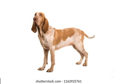 Bracco italiano standing seen from the side looking away waging its tail isolated on a white background