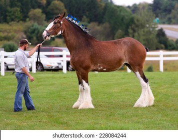 Bracebridge, Canada - September 15,  2013 - A man get his horse ready for competition at the annual Bracebridge Fall Fair in Canada.