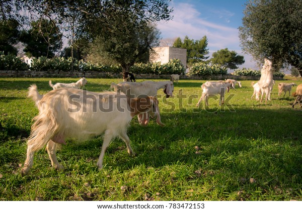 Brach Of Goats Walking In The Grass Eating From An Olives Tree Before The Sunset In The Countryside