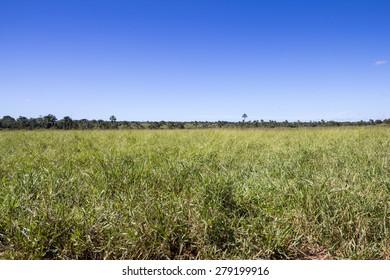 Brachiaria decumbens farm in Minas Gerais Brazil