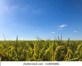 Brachiaria pasture field in Brazil.
