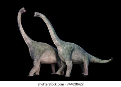 Brachiosaurus altithorax couple (3d illustration isolated on black background)
