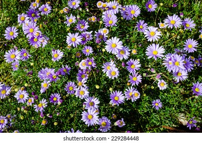 Brachyscome multifida, Cut-Leafed Daisy, is an australian perennial herb found in the grassy understories of woodlands and open forests in areas of southern Queensland, New South Wales and Victoria.