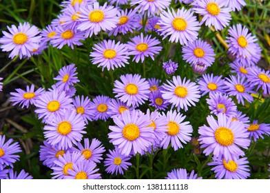 Brachyscome multifida cut-leaved daisy many purple flowers