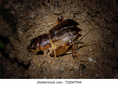 Brachytrupes portentosus Lichtenstein (Gryllidae) calling in the breeding season