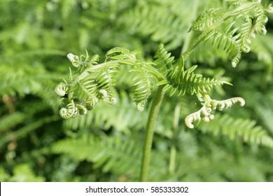 bracken or brake or eagle fern or brakenfern, Pteridium aquilinum