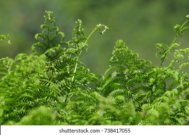 bracken or  brake or eagle fern leaves, Pteridium aquilinum